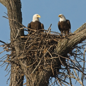 paula-sullivan_bald-eagle